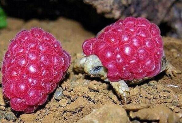 raspberry_tortoise_photoshop