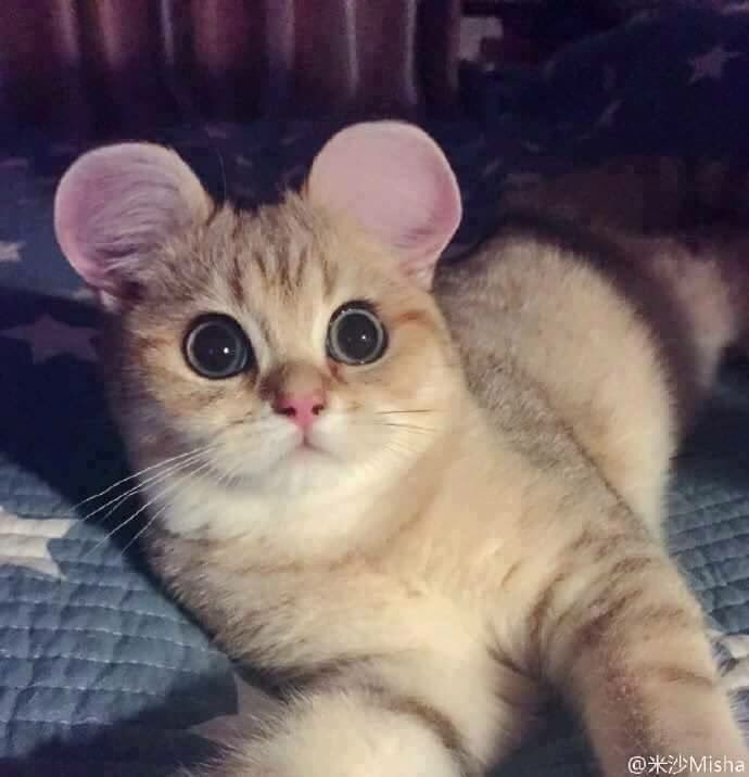 cats with round ears hoaxeye