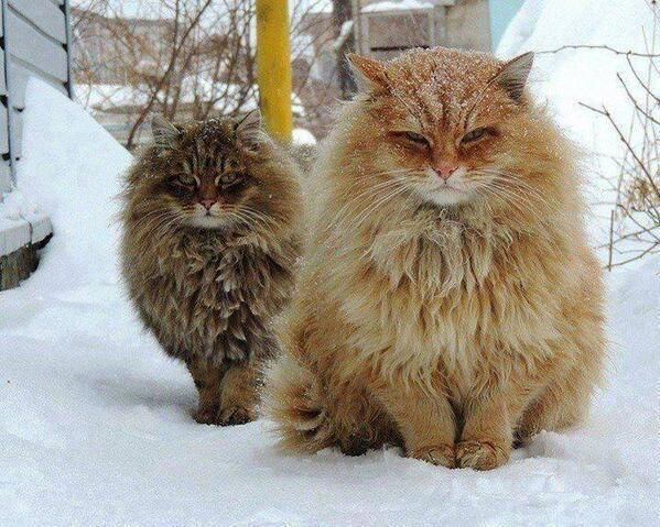 norwegian forest cats hoaxeye